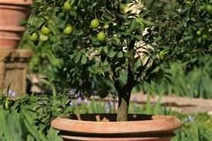 Dünger Für Zitronenbaum : zitronenbaum ziehen hinweise zum pflanzen zur pflege ~ Watch28wear.com Haus und Dekorationen