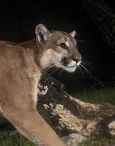 Phantom Of The Forest  Could The Cougar Again Haunt