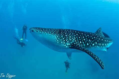 Dive With Whale Sharks New To Stop Whale Shark Feeding At Oslob Cebu
