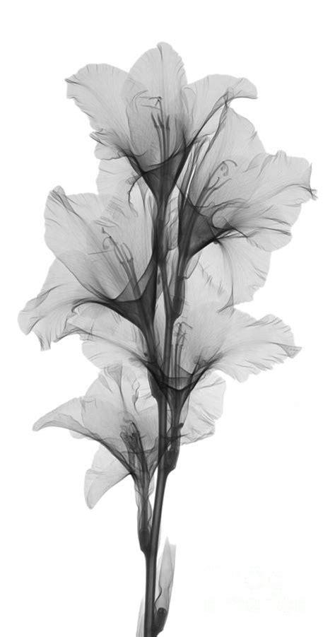 ray   gladiola flower photograph  ted kinsman