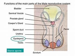 Photos  Male Rat Reproductive System Diagram