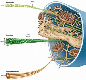How to describe the structure of the cytoskeleton - Quora