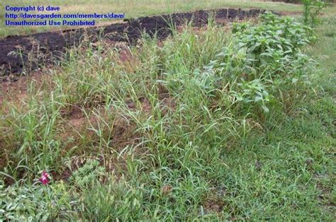 grass that spreads plant identification closed perennial pasture grass spreads by rhizome 1 by dave
