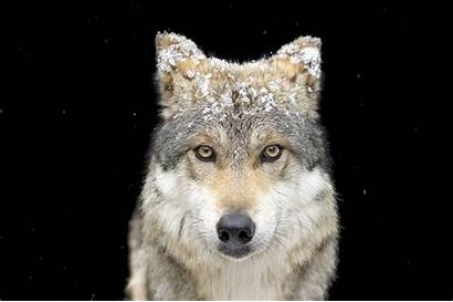 Wolf Gray Mexican Ark National Geographic Joel