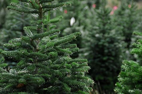 keeping your fresh cut christmas tree fresh as a daisy