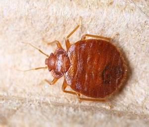 scabies vs bed bugs rentokil steritech With do bed bugs burrow