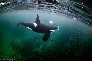 Freediving With Orcas In The Arctic