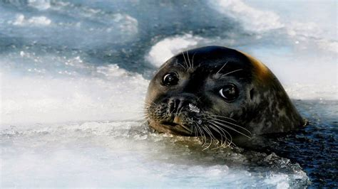 Us Navy Seals Wallpaper Baby Seal Wallpaper Wallpapersafari