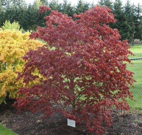 weeping japanese maple varieties japanese maple red weeping oshu shidare 10 quot pot hello hello plants garden supplies