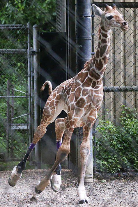 woodland park zoos baby giraffe prance