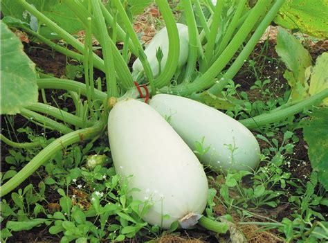 cuisiner un patisson blanc recettes de courge les jardins bio de chambereins
