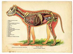 Male Dog Anatomy