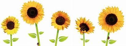 Transparent Sunflowers Clipart Aesthetic Flower Drawing Sunflower