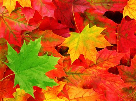 fall leaf wallpapers windows 7 autumn wallpapers