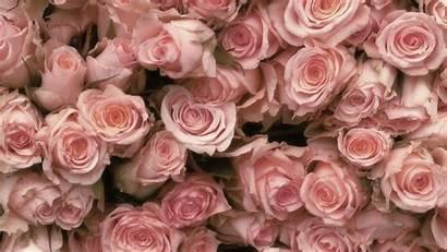 Rose Screensavers