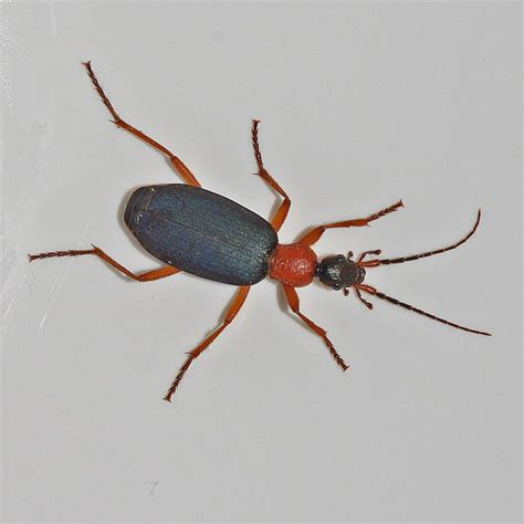 Bug o'the Week - False Bombardier Beetle Redux - Riveredge ...