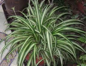 spider plants 10 houseplants that detox your home texila connect