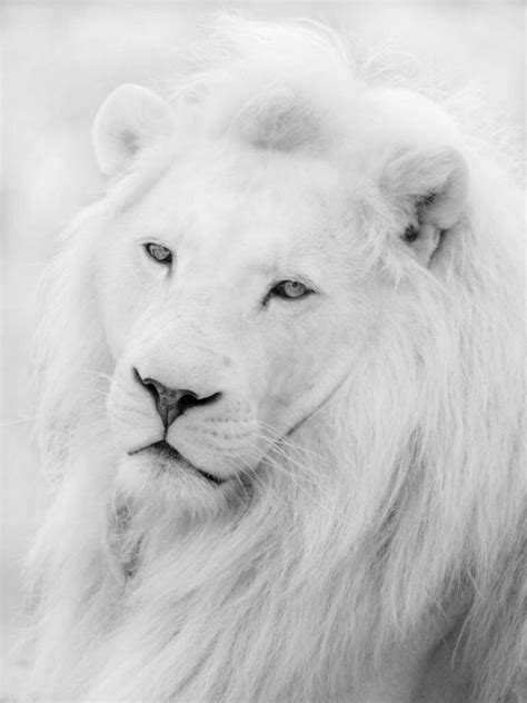 White Lion Beautiful Albino