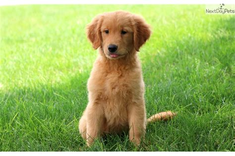 Ginger Golden Retriever Puppy For Sale Near Lancaster