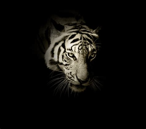 Hd Wallpapers Animals Tigers - wallpaper white tiger hd animals 12879
