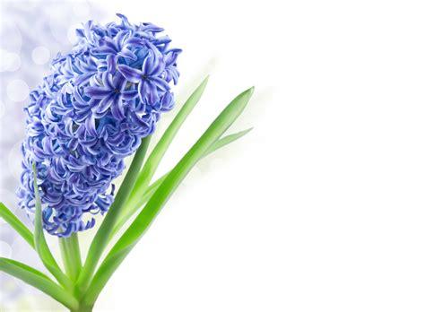 Hyacinth Flower Spring Background Gallery Yopriceville