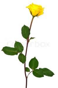 Single Yellow Rose White Background