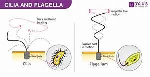 Ae 6688  Diagram Of Cilia Free Diagram