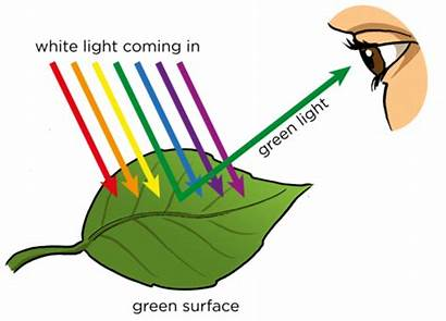 Leaf Colour Why Leaves Natural Absorb Absorbed