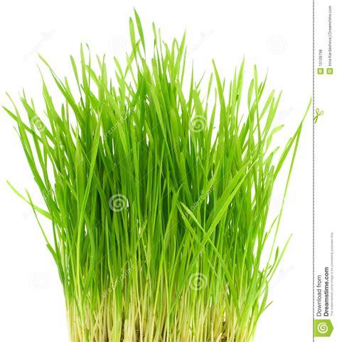 grass bush green grass bush royalty free stock photos image 15109798