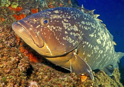 parasites groupers even hosts grouper mediterranean many cc brown don