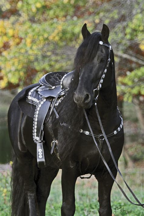 horse friesian horses stallion dressage western tack keegan own saddle saddles friesians pretty rider riding horseandrider morgan stud westerns ride