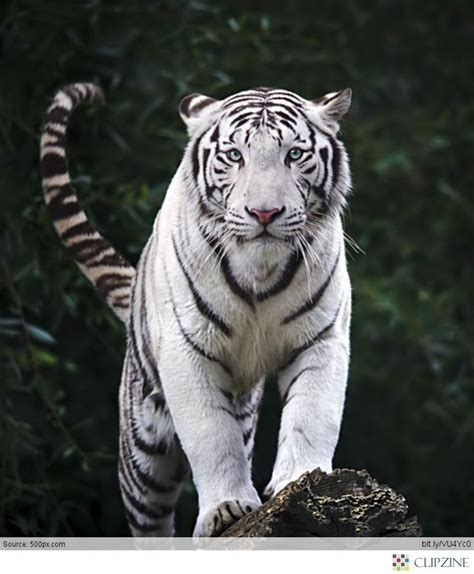 25+ Best Ideas About White Tigers On Pinterest Tigers
