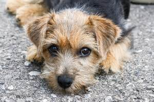 the norfolk terrier has a wire haired coat which according to the breeds picture