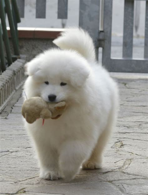 Best 25 Samoyed Puppies Ideas On Pinterest Samoyed