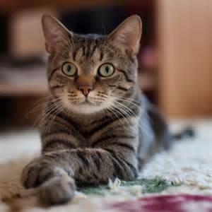 types of domestic cats how many types of felines