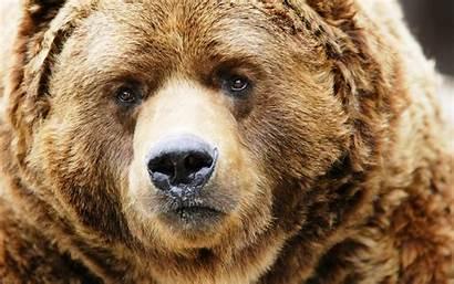 Bear Wild Desktop Wallpapers 4k