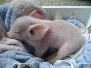 Teacup Pigs | Chicken Legs