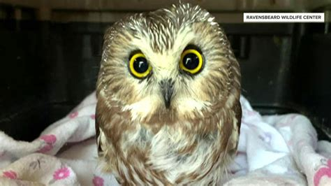 today highlight tiny owl rescued  rockefeller