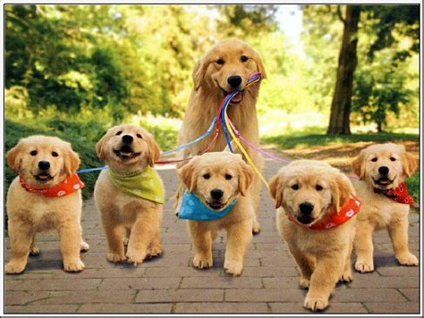 10 Tips To Care For Golden Retriever Puppy Pets World