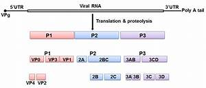Biological Characteristics Of Enterovirus 71  Ev71