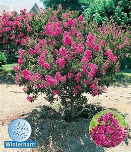 Winterharte Blumen Für Kübel : flieder des s dens top qualit t online kaufen baldur garten ~ A.2002-acura-tl-radio.info Haus und Dekorationen