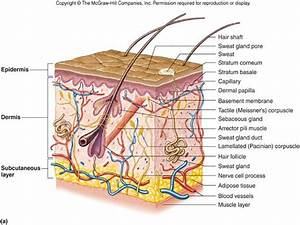 Integumentary System Diagram To Label | www.pixshark.com ...