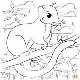Coloring Possum Pages Printable Drawing sketch template