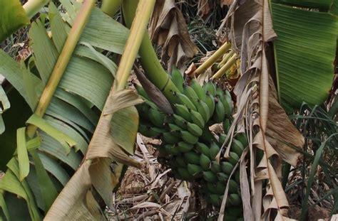 ชาวสวนกล้วยเมืองโอ่งน้ำตาตก เจอแล้งต้นเหี่ยวคอหักเกือบหมดสวน