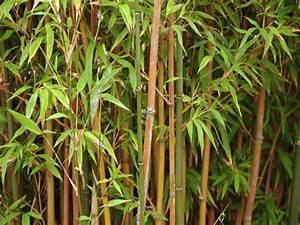 Bambus Im Winter : bambus pflege tipps und tricks f r das optimale vorgehen pflege tipps garten ~ Frokenaadalensverden.com Haus und Dekorationen