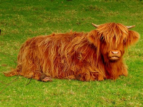 la vache ecossaise  highland    close