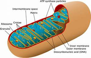 What Is Mitochondrial Dna And Mitochondrial Inheritance
