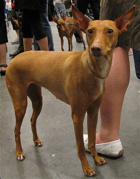 cirneco delletna primitive breed dogs  dog