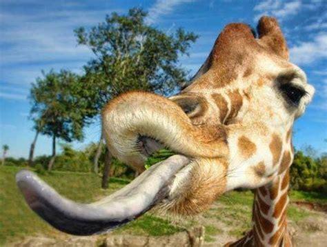 giraffe  longest tongue  luvbat