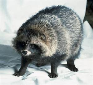 All About Wild Life Information: Raccoon Dog Info and Pictures